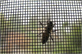 Plase insecte pe balamale